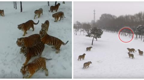 China: Das Video von mehreren Tigern, die eine Drohne jagen, ist im Internet zu einem echten Skandal geworden!