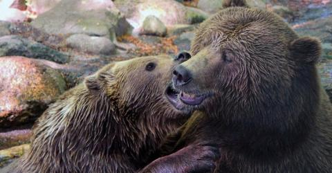 Zwei getötete Braunbären im Zoo: Tierpfleger gibt zu, dass der Tod hätte verhindert werden können