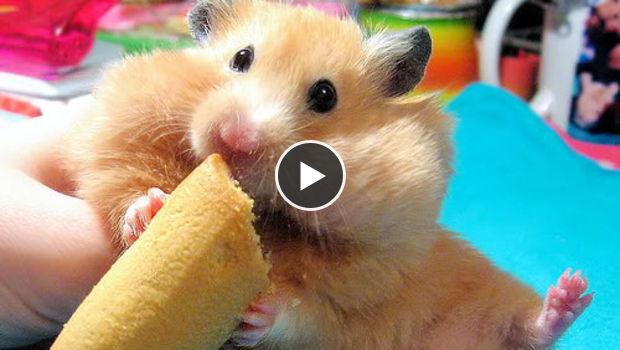 Lustig Hamster Bilder totalling, consumer