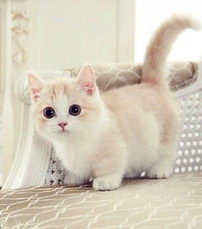 Munchkins Diese Niedlichen Katzen Bleiben Für Immer Babys