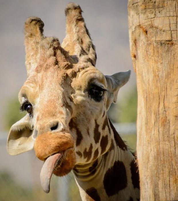 fressen giraffen akazien