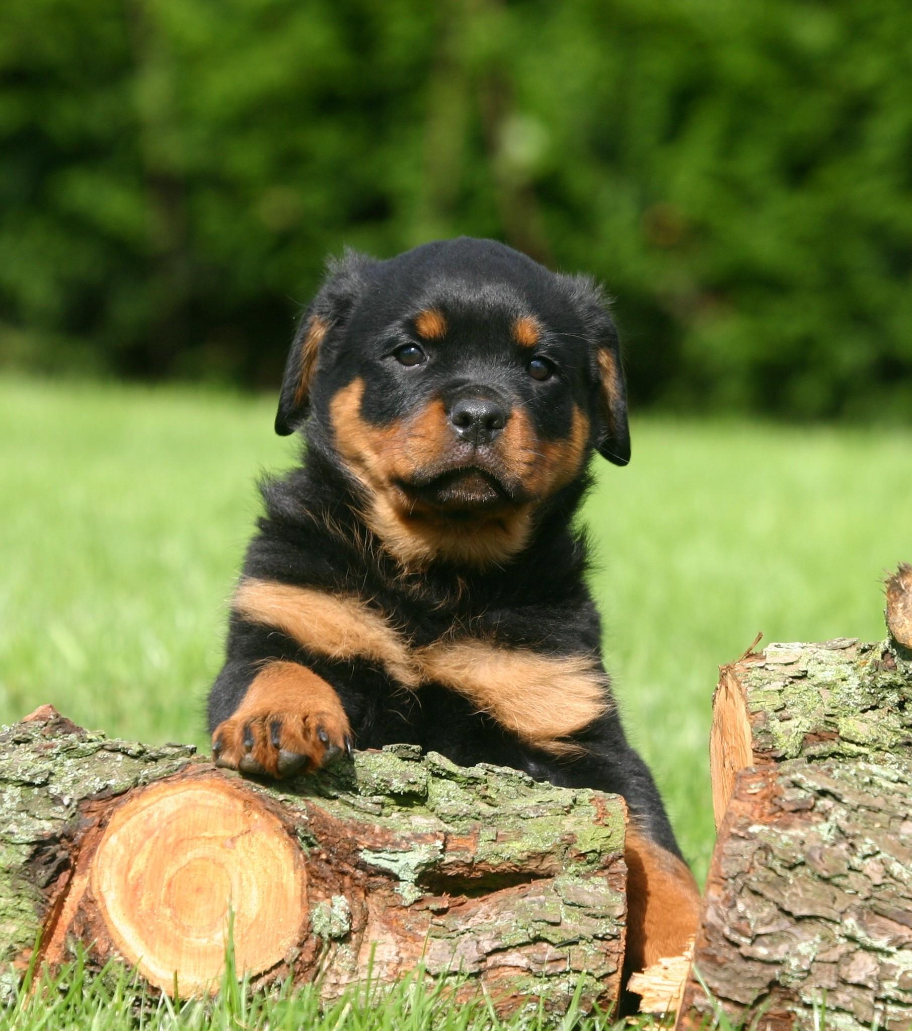 Gar nicht furchteinflössend: Der Rottweiler stammt ursprünglich aus Deutschland.