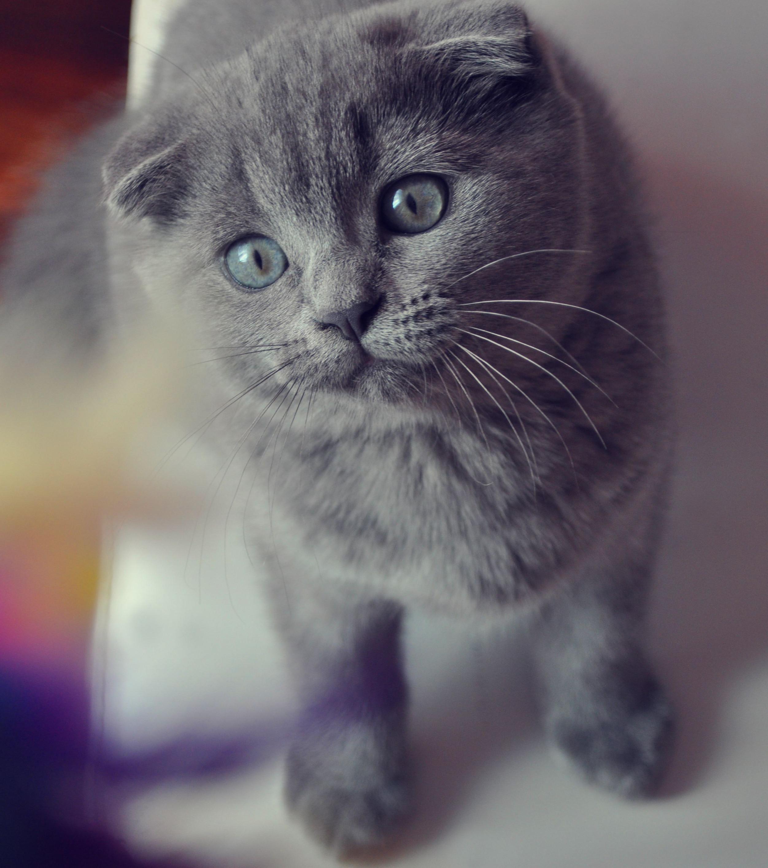 Eine süße Katze der Rasse Scottish Fold