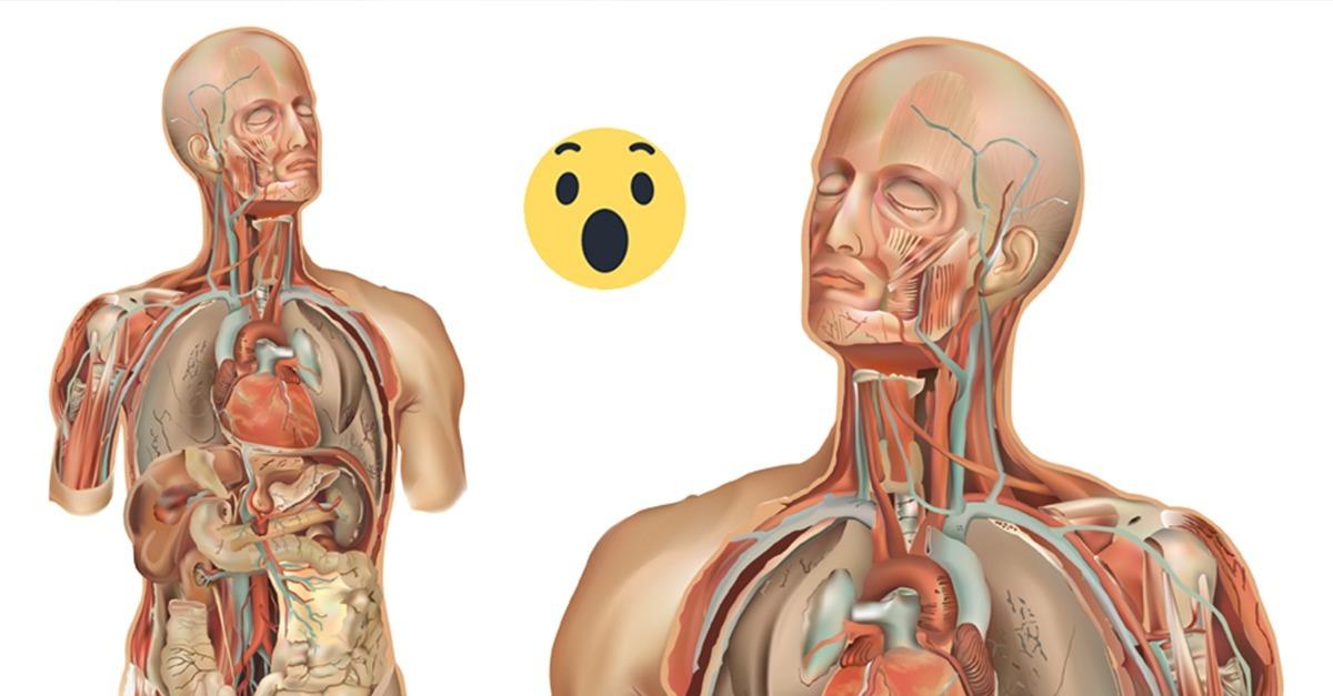 Ungewöhnlich Lage Der Menschliche Leber Ideen - Menschliche Anatomie ...
