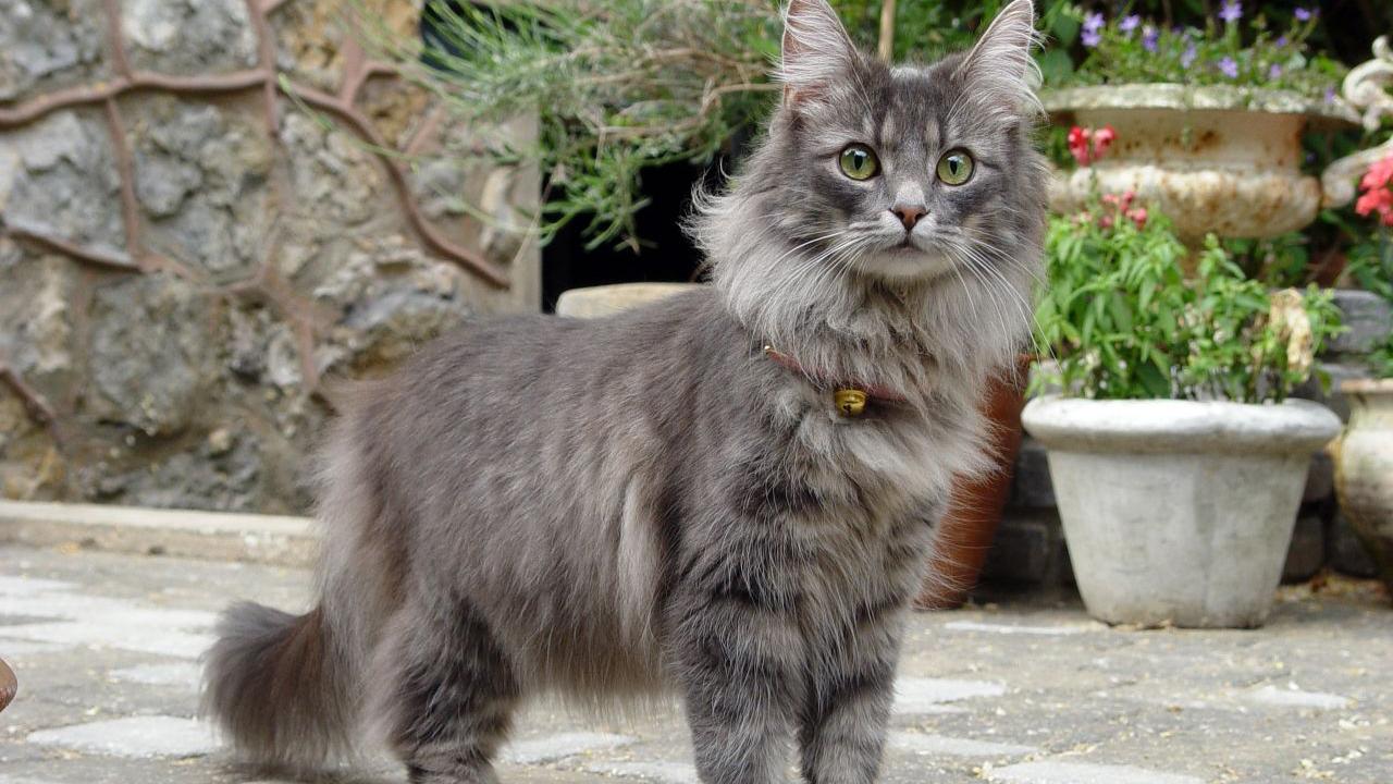 Du Möchtest Eine Norwegische Waldkatze Kaufen Wir Verraten Dir Was