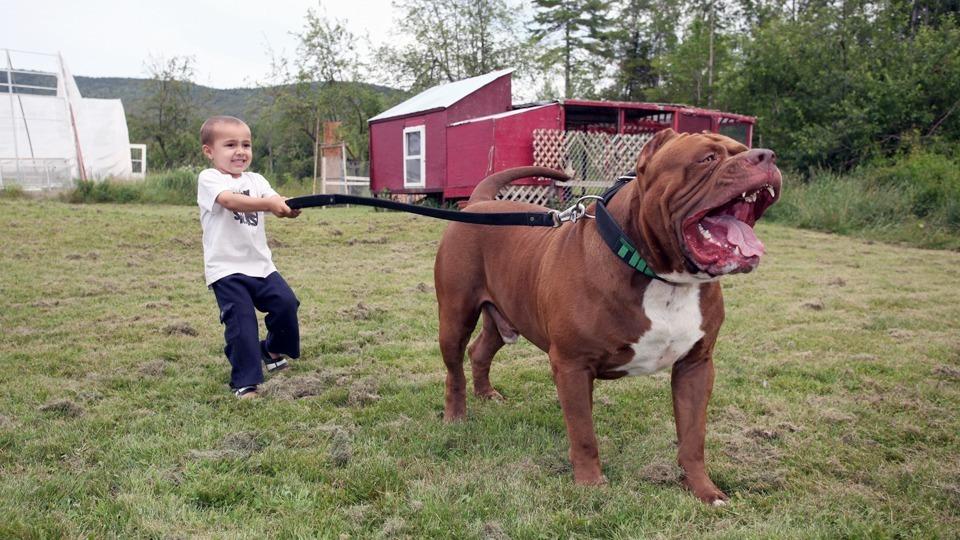 Der Größte American Pit Bull Terrier Der Welt Es Ist Unfassbar Wie
