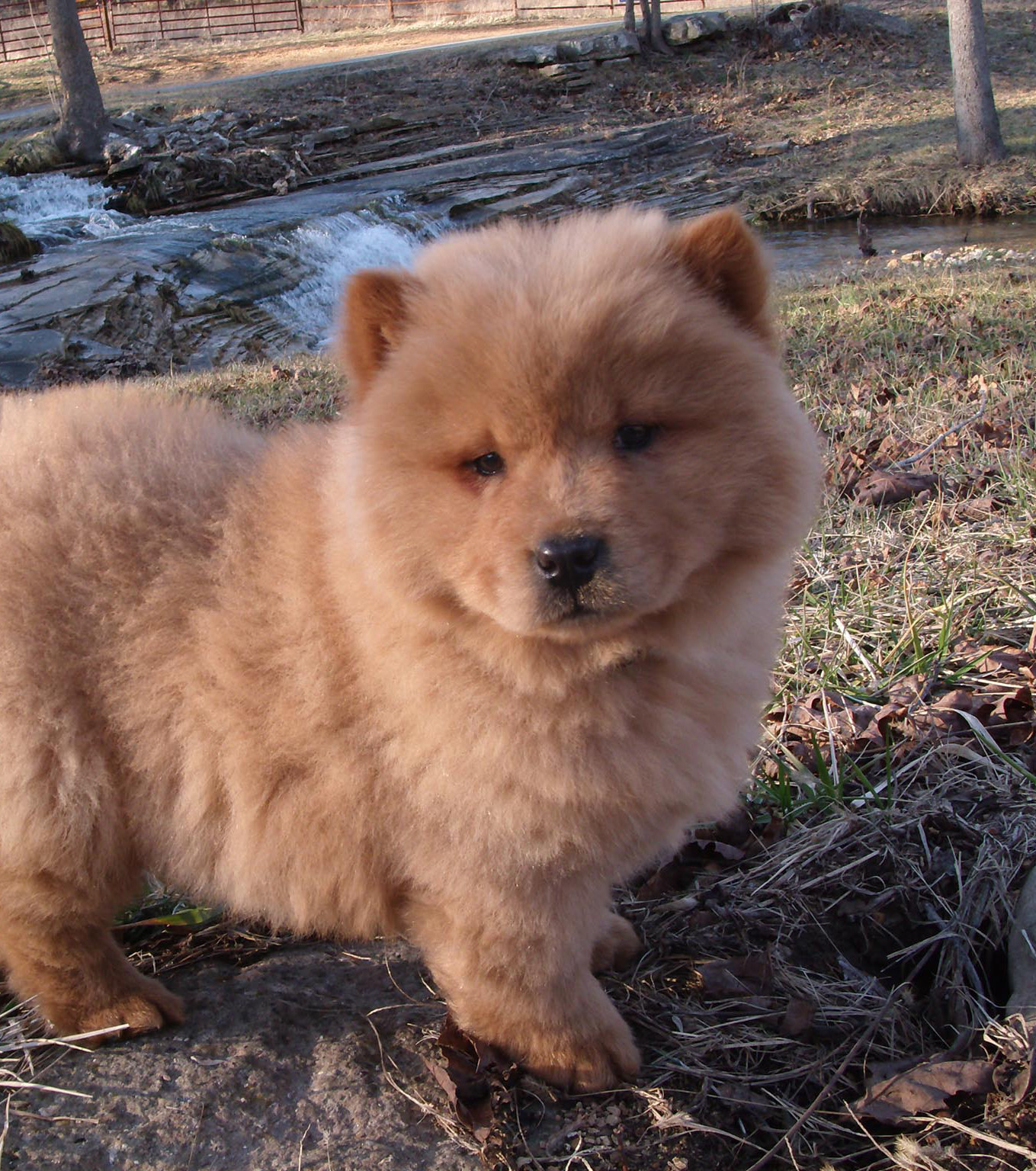 wesen chow chow