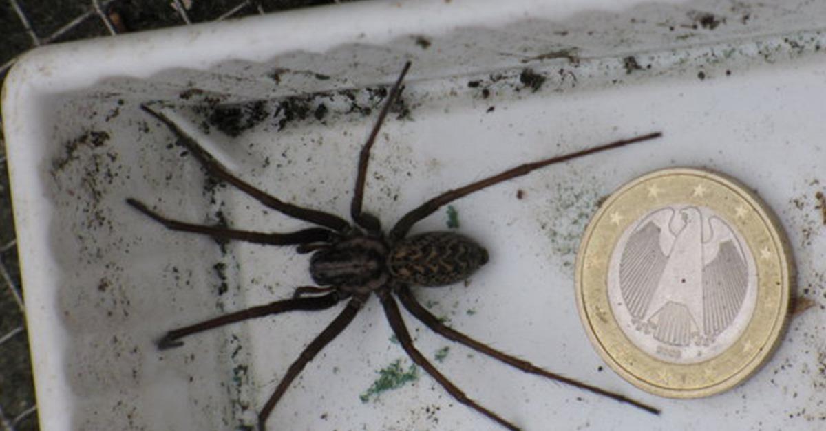 Große Spinnen In Deutschland
