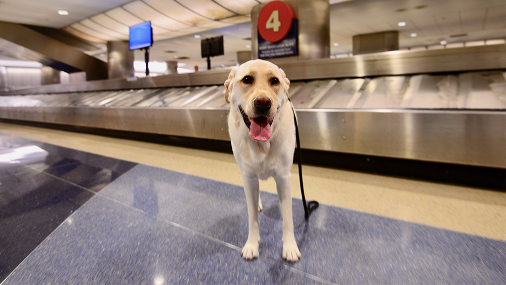 Eine Labrador-Hündin am Flughafen berührt die Herzen von Millionen Menschen weltweit