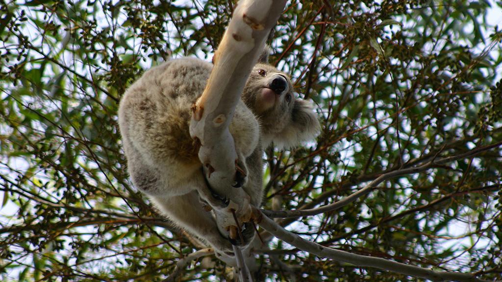 Jugendliche fahren mit Auto auf Kangaroo Island rum, um Koalas vor den Flammen zu retten