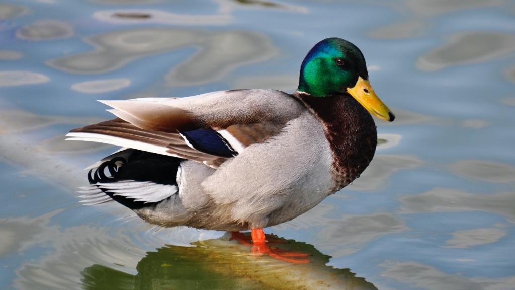Sprechende Ente: Forschung überrascht von Entdeckung aus der Tierwelt!