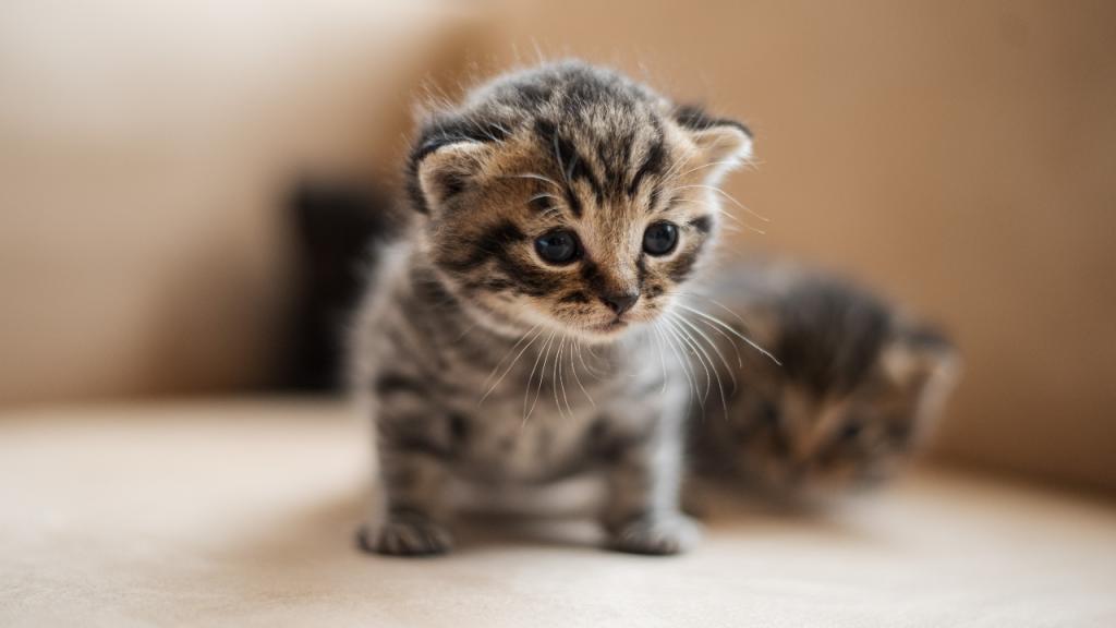 Diese Katze hat eine seltene Krankheit: Er bleibt für immer ein Baby