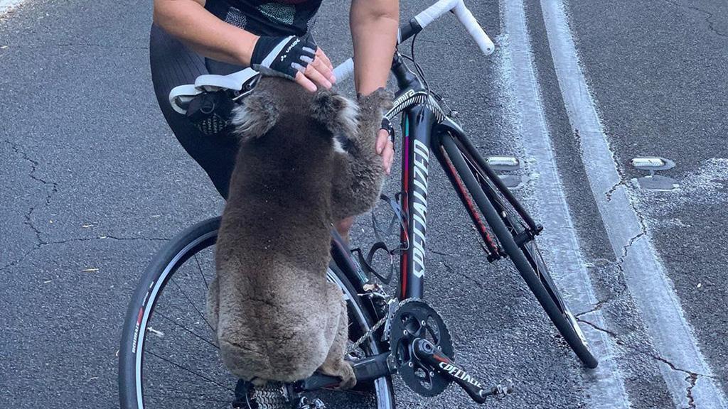 Feuer in Australien: Koala klammert sich an Fahrrad, weil er etwas ganz Bestimmtes will