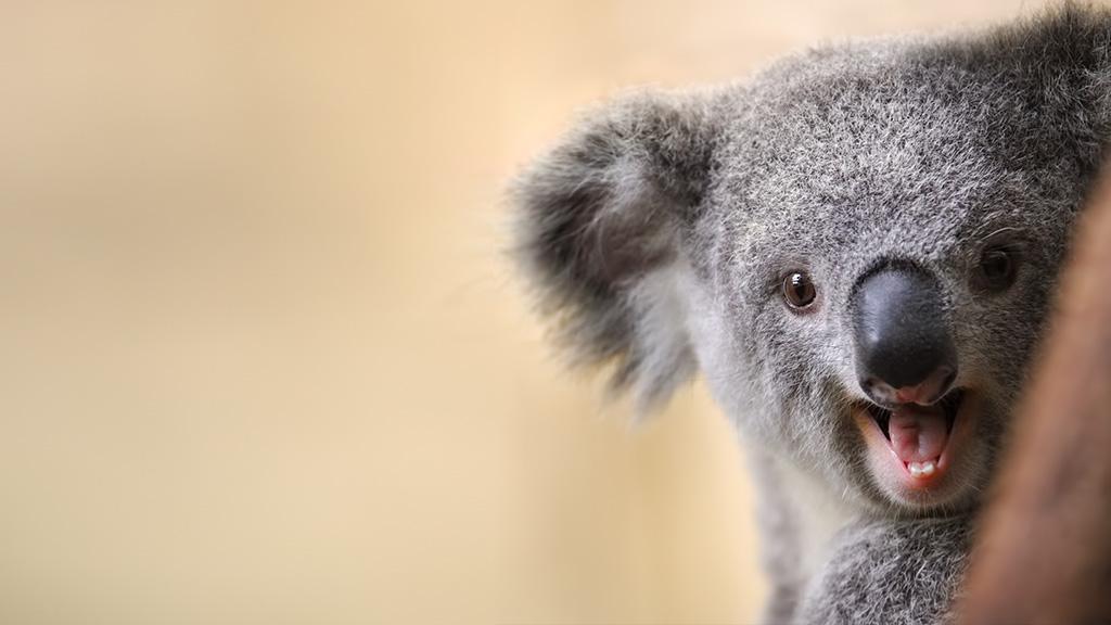 Mann gibt Koala zu trinken: Die Reaktion des Tieres ist herzerweichend