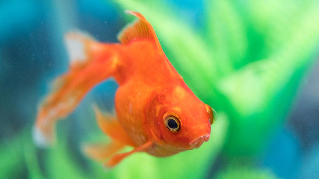 Dieser behinderte Fisch kann nicht mehr schwimmen: Die geniale Idee seines Besitzers rettet ihn