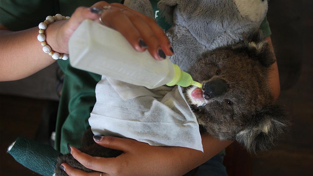 Tödlicher Fehler: Ärzte warnen Australier davor, Koalas zu trinken zu geben