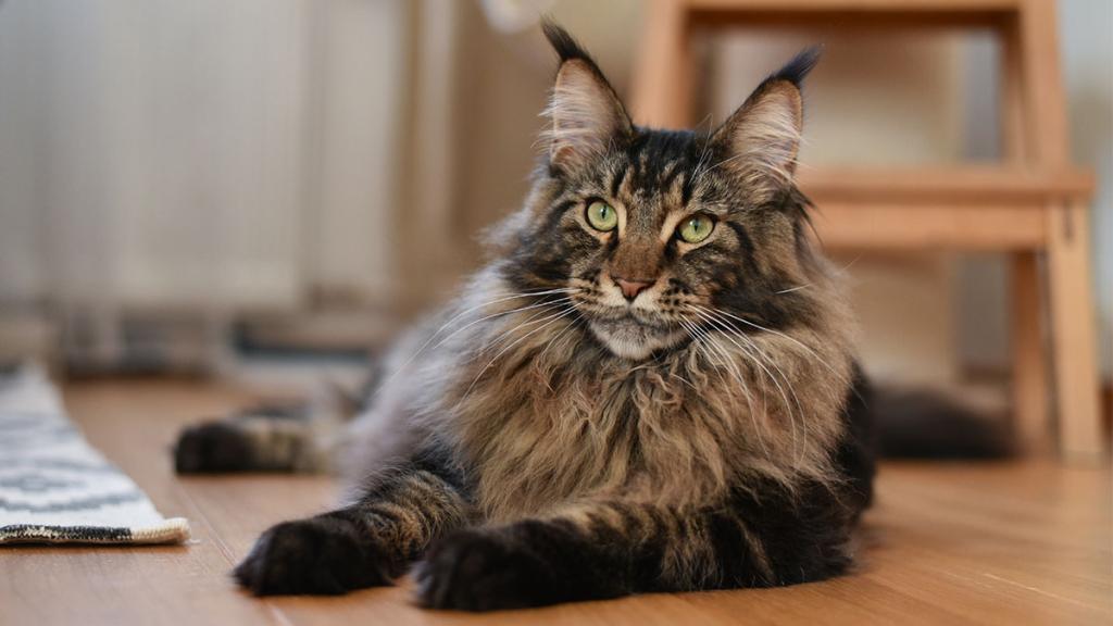 Maine Coon: Omar ist die größte Katze der Welt