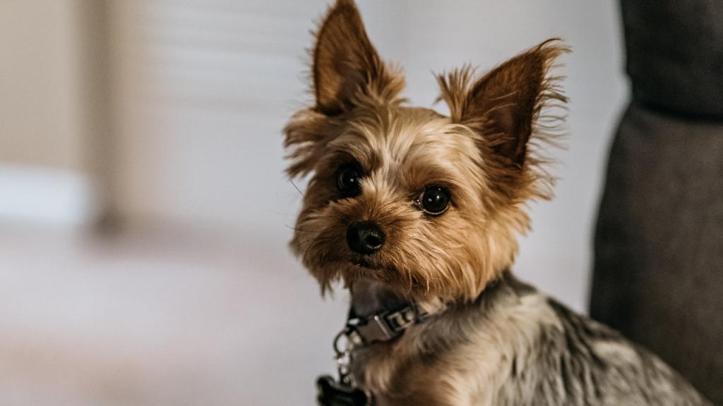 Hundezüchter will den kleinsten Hund der Welt schaffen, doch dann wird er ohne Augen geboren