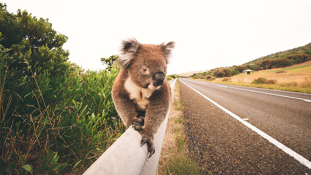 Vom Aussterben bedrohte Art: Das musst du über den Koala wissen