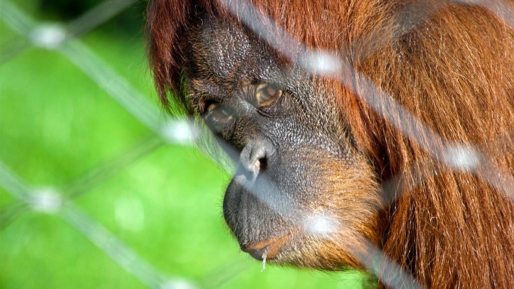 Gänsehaut-Moment: Mutter bricht bei Begegnung mit Orang-Utan Dame in Tränen aus