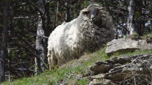 Schaf maggie