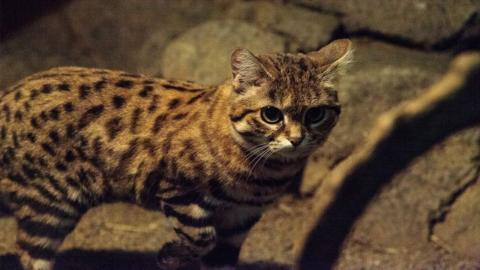 Felis nigripes: Sie ist die tödlichste Katze der Welt und doch vom Aussterben bedroht