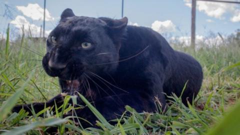 Tierschutz schlägt Alarm: Beunruhigendes Verhalten bei Panthern und Luchsen gesichtet