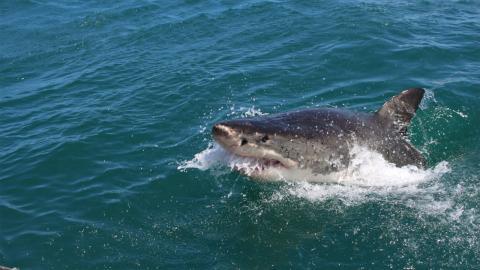 Unbekannter Hai: Forscher entsetzt, als sie den Kopf genauer betrachten
