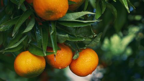 Mandarinen: Ein bestimmter Stoff kann Langzeitschäden im Gehirn auslösen
