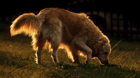 Hunde helfen mit ihrem guten Spürsinn der Krebsforschung