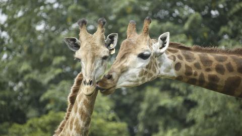 Giraffenfrau: Jetzt muss sie die Halsringe abnehmen und zahlt einen hohen Preis