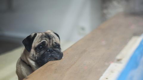 Brachyzephalie: Der gefährliche Trend bei Hunden ist nicht mehr aufzuhalten