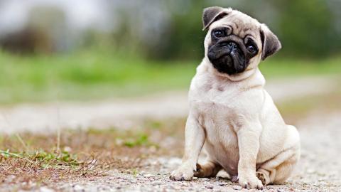 Diese fünf Hunderassen hängen am meisten an Frauchen und Herrchen!