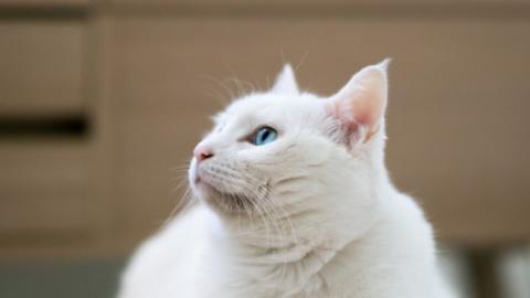 Das solltest du beachten, bevor du eine weiße Katze adoptierst