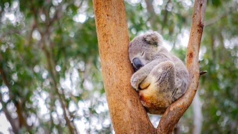 Jede Hilfe kam zu spät: Koala Ellenborogh Lewis muss eingeschläfert werden