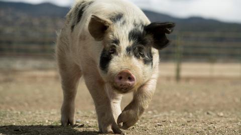 4.000 Dollar: Das Hobby von diesem Schwein bringt mächtig Kohle