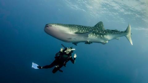 Protest im Internet: Mann surft im Roten Meer auf einem Walhai! (VIDEO)