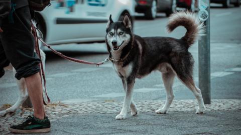 Husky läuft hinter Auto her: Herzzerreißendes Video enthüllt den traurigen Grund