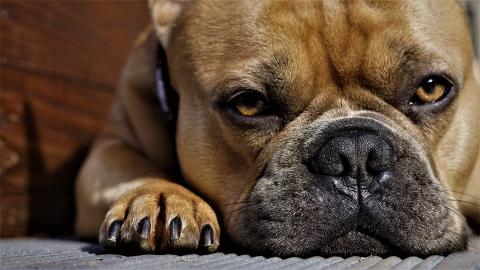 Hunde leiden schon seit Jahrtausenden an sexuell übertragbarem Krebs