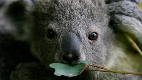 Wegen Buschbränden: Im Bundesstaat Victoria sollen schutzlose Jungtiere erschossen werden