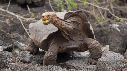 Nahezu im Alleingang: Sexuell aktive Schildkröte Diego rettet ganze Spezies vor dem Aussterben