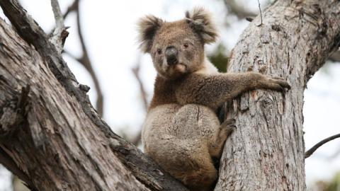 Waldbrände in Australien: Gerettete Koalas werden wieder freigelassen