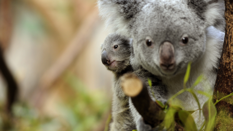 """Sensation aus """"Down Under"""": Erstes Koalababy seit den Buschbränden geboren"""