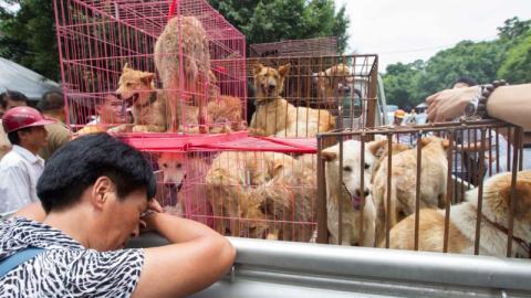 Hundefleisch-Festival: In Yulin werden trotz Covid-19 tausende Hunde geschlachtet