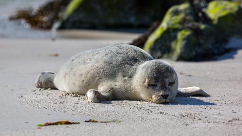 Weil es mehr Plastik als Fische zum Fressen gibt: Robbenbaby erstickt qualvoll an Plastikmüll