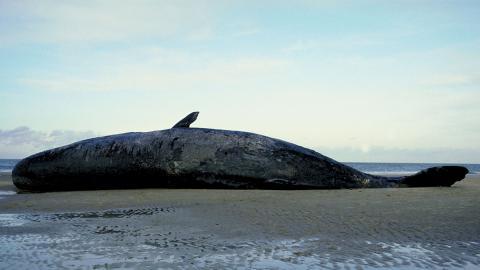Verhungerter Wal gestrandet: Der Grund macht wütend