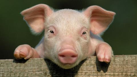 """""""Dreckig wie ein Schwein"""": Warum Schweine einen Imagewandel verdient haben"""