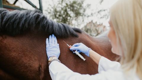 Corona-Behandlung: Jetzt werden Pferde zu Forschungszwecken eingesetzt