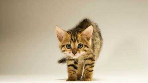 Top 5: Das sind die teuersten Katzen der Welt