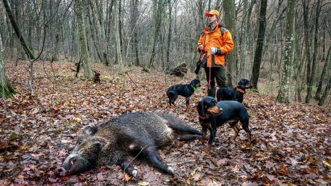 Jäger erlegt Wildschwein: Als er es aufschneidet, erlebt er sein blaues Wunder